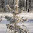 Stock Photo: Snowy winter tree.