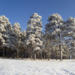 Snow winter trees. - Photo