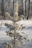 白雪皑皑的冬天树. — 图库照片