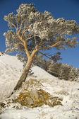 Besneeuwde winter boom. — Stockfoto
