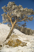Snowy winter tree. — Foto Stock