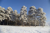 Snow winter trees. — Stock Photo