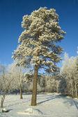孤独な木。冬. — ストック写真