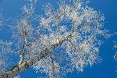 Tree, hoarfrost, sky. — Stock Photo