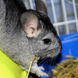 Royalty-Free Stock Photo: CHINCHILLA