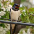 Stock Photo: Swallow