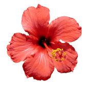 Red hibiscus flower — Stock Photo