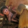 Baby Baboon — Stock Photo