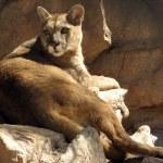Puma — Stock Photo #1272478