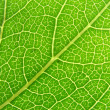 Green leaf veins 04 — Stock Photo