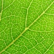 Green leaf veins 04 — Stock Photo #1273322