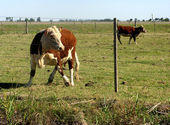 2 頭の牛 — ストック写真