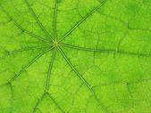 Green leaf veins 03 — Stock Photo