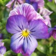 Stock Photo: Pansy