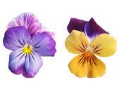 Duas flores de amor-perfeito — Foto Stock