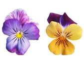 Two Pansy flowers — Stock Photo