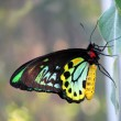 Cairns Birdwing Butterfly — Stock Photo
