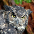 Great Horned Owl — Stock Photo #1290707