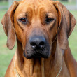 Rhodesian Ridgeback - Stock Photo