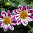 Twin Flowers — Stockfoto