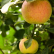 Apples grow on branch — Stock Photo