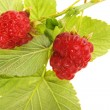 Stock Photo: Raspberry with stem and leaves