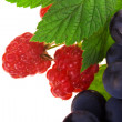 Raspberry and grapes — Stock Photo