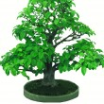 Bonsai japanese tree — Stock Photo
