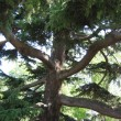 The big coniferous tree - Stock Photo