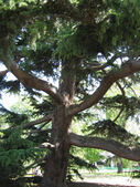 The big coniferous tree — Stock Photo