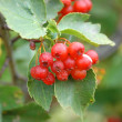 Hawthorn on a tree - Stock Photo