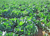 Field of cabbage — Stock Photo