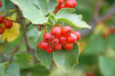 Hawthorn on a tree — Stock Photo