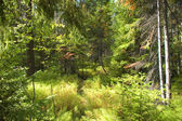 Is dark-coniferous taiga in a sunny day — Stock Photo