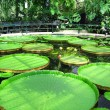 Big water lily — Stock Photo