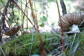 Grzyby leśne — Zdjęcie stockowe