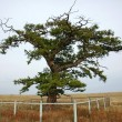 Stock Photo: Unique tree in steppe