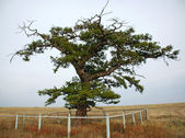 A unique tree in the steppe — Stock Photo