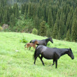 Black horses on a mountain pasture — Stock Photo #2491599