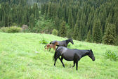 Black horses on a mountain pasture — Stock Photo