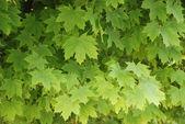 木酢 — 图库照片