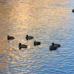 Flock of ducks — Stock Photo #1286753