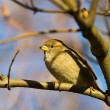 Sparrow on a tree branch — Stock Photo #1288921
