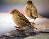 Sparrows on a roof of the car — Stock Photo