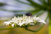 Fly on a flower close-up — Stock Photo