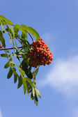 Rowan-tree — Stock Photo