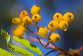 Branch of a ripening rowan-tree — Stock Photo