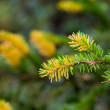 Fir-tree branches — Stock Photo #1291601