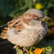 Stock Photo: Portrait of a sparrow