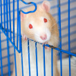 Small red curious rat — Stock Photo #1303873